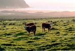 Beef Cows, ACFV02P04_11.1709