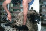 shearing sheep, North Island, New Zealand