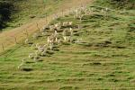 Sheep, South Island, New Zealand, ACFV02P11_13.2459