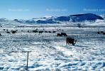 Cows grazing in the snow, Del Norte, Colorado, Beef Cows