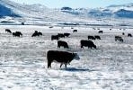 Cows grazing in the snow, Del Norte, Colorado, Beef Cows, ACFV02P14_06
