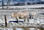 Cows grazing in the snow, Del Norte, Colorado, Beef Cows, ACFV02P14_09