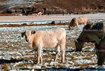 Cows grazing in the snow, Del Norte, Colorado, Beef Cows, ACFV02P14_11.1709