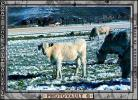 Cows grazing in the snow, Del Norte, Colorado, Beef Cows, ACFV02P14_11