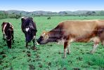 Cow, Occidental, Sonoma County, California, ACFV03P02_06