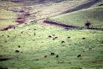 Cow, Sonoma County, California, ACFV03P02_11