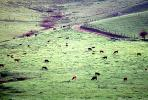 Cow, Sonoma County, California, ACFV03P02_12