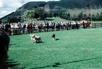Lamb, Sheep Herding, New Zealand, ACFV03P04_14