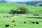 cows, Livermore, California, Hills, Hillside, Beef Cows, ACFV03P07_03