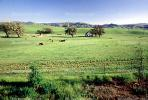 cows, Livermore, California, Hills, Hillside, Beef Cows, ACFV03P07_04