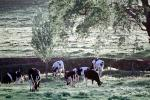 Cows, Sonoma County, Beef Cows, ACFV03P09_04
