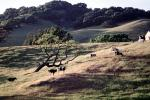 Cow, Sonoma County, Hills, Hillside, ACFV03P09_05