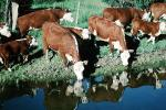 Cow Drinking Water, ACFV03P10_08