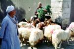 Sheep, Cairo, ACFV03P11_05