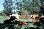 Cow, New Boston, Texas, ACFV03P12_12