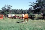Cow, New Boston, Texas, ACFV03P12_14