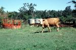 Cow, New Boston, Texas, ACFV03P12_15