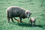 lamb, sheep, near Greymouth, New Zealand