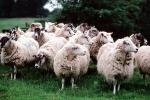 sheep, Cotswolds, England, ACFV03P15_15