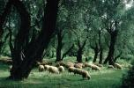 Sheep, deciduous Trees, Forest, Corfu Island