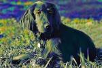 Irish Setter, Santa Rosa, Sonoma County, California