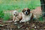 St. Bernard, big dog breed