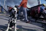 Dalmation at a Fire