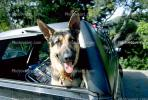 German Shephard in a car, ADSV01P09_15.0150