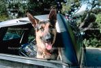 German Shephard in a car, ADSV01P09_15.1710