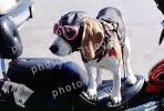 Beagle wearing a leather helmet, goggles, funny, cute, ADSV03P03_02
