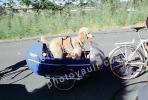 Poodle, bicycle trailer, ADSV03P08_19