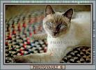 Siamese Cat, Asian, Felis catus, tanzanite-blue eyes, Chuck