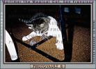 catching a mouse, My Cat, Mortimer, AFCV01P05_14