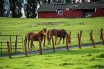 Horses in a field, barn, gras, fence