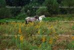 Horses in a Field near Mount Rainier, AHSV01P10_11.1711
