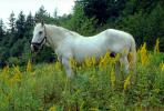 White Horse near Mount Rainier, AHSV01P10_16