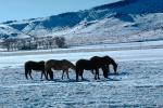 Horses Grazing in the Snow, Del Norte, Colorado