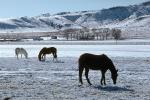 Horses Grazing in the Snow, Del Norte, Colorado, AHSV02P04_14