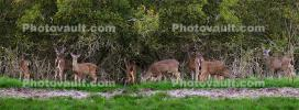 Deer, Hills, Trees, Fields, Two-Rock, Sonoma County, California, AMAD01_229