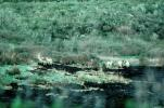 The White Deer of Point Reyes, AMAV01P02_12
