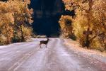 Deer, Crossing the Road, Fall Colors, Autumn, Trees, Vegetation, AMAV01P07_16.4100