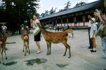 Wildlife, woman, purse, funny, Miyajima, Deer Park, 1950's, AMAV01P14_19