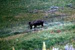 Bull Moose, fields, flowers