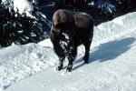 Buffalo in the Snow, Yellowstone