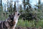Wolf and Husky, Wolves, Alaska