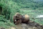 kneeling Asian Elephant, rice paddy, terrace, mud, dirt, AMEV01P02_11