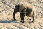 African Elephants, South Africa, AMEV01P04_07B