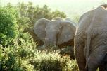 African Elephants, South Africa, AMEV01P04_08