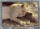 Lion, female, AMFV01P01_09