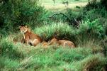 mating Lion, Africa, AMFV01P11_01